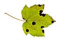 Tar Spot Fungus {Rhytisma acerinum} on Sycamore leaf {Acer pseudoplatanus}, Nottinghamshire, UK. Autumn.