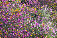 Cercis occidentalis, Western Redbud tree with magenta flowers in Leaning Pine Arboretum, California garden