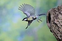 Kohlmeise, Nesthöhle, Nisthöhle, Baumhöhle, Bruthöhle, Astloch, Nest, Flug, Flugbild, fliegend, Kohl-Meise, Meise, Meisen, Parus major, Great tit, tit, tits, nest, flight, flying, breeding burrow, La Mésange charbonnière