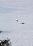 Whitetail doe running across a frozen lake in Montana