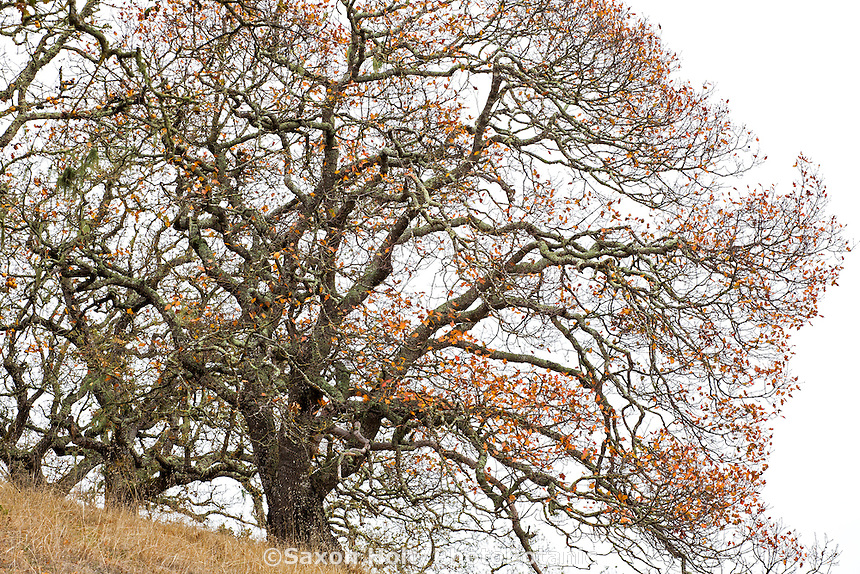 Quercus kelloggii, California Black Oak trees in autumn with bare branches; Rush Creek Open Space, Marin County