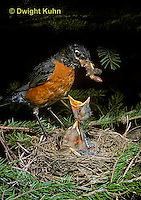 RO03-007z  American Robin - adult feeding young birds at nest - Turdus migratorius