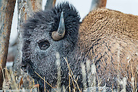 Huge bull Bison (Bison bison), with face frosted over from the extreme cold, displays the mask of winter.  Yellowstone National Park.