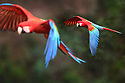 A pair of red-and-green macaws or green-winged macaws (Ara chloropterus) (Family Psittacidae) in flight over forest canopy. Buraco das Araras (Sinkhole of the Macaws), Jardim, Mato Grosso do Sul, Brazil. September.