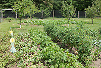 Beans, tomatoes, fruit trees, pumpkins growing in vegetable garden with deer fencing and Japanese beetle insect pest trap