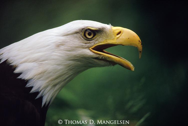 Profile portrait of a Bald Eagle calling out in Washington.