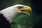 Profile portrait of a Bald Eagle calling out in Washington.