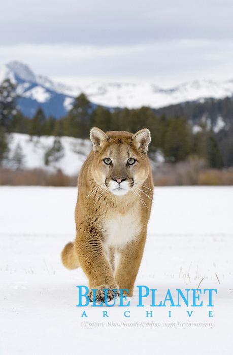 Puma (Felis concolor), adult, walking in snow, USA, America, North America
