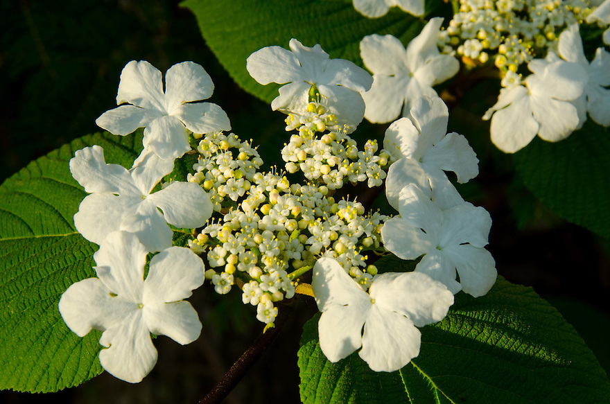 As common as it appears for most of the seasons, mid spring brings a showy change to Hobblebush Viburnum.