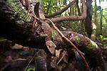 Adult mossy leaf-tailed gecko (Uroplatus sikorae). Masoala National Park, Madagascar.