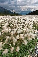 Mountain aven plants along the middle fork of the Koyukuk River, Arctic, Alaska.