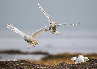 Two Snowy Owls (Bubo scandiacus) confront one another in the air while another reacts nervously.  The top owl is carry seaweed inadvertantly picked up while hunting.  This confrontation occured during a rare Snowy Owl irruption.  Most Snowy Owls during these irruptions are juveniles that normaly tolerate one another.  Adults, especially adult females are much less hospitable. (British Columbia)