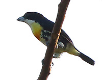 Male spot-crowned barbet