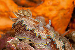 Nudibranch (Glossodoris cincta)