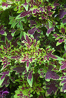 Solenostemon (Coleus) 'Crinkly Bottom', annual foliage plant in green and red ornamental leaf colors