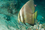 Anilao, Philippines; a Golden Spadefish (Platax boersii) swimming over the coral reef is cleaned by a Bluestreak Cleaner Wrasse (Labroides dimidatus) fish