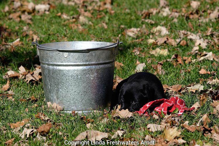 A pail, a black Labrador retriever puppy (AKC), and a towel.  Fall.  Birchwood, WI
