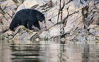 A rotund black bear heads down a salmon stream.