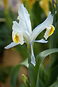Iris vicaria, glasshouse, late March. Flowers range in colour from white with a yellow crest and falls of a very pale blue, to amythest or pale bluish violet standards (with dark veins) and with a yellow crest and yellow blotch. Native to the Pamir Mountains and Alay Mountains of Central Asia.