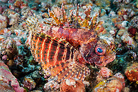 shortfin lionfish, or shortfin turkeyfish, Dendrochirus brachypterus, Bali, Indonesia, Bali Sea, Indo-Pacific Ocean