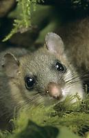 Siebenschläfer, Portrait, Glis glis, edible dormouse, edible commoner dormouse, fat dormouse, squirrel-tailed dormouse, Schläfer, Bilch, Bilche