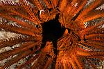 Brittle Star inside a featherstar  (Ophiarachna sp.). Misool, Raja Ampat, West Papua, Indonesia,  January 2010