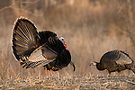 Male eastern Wild Turkey (Meleagris gallopavo) with hen