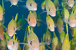 Fakfak Regency, West Papua, Indonesia; a detail view of a polarized school of Yellowfin Goatfish (Mulliodichthys vanicolensis)