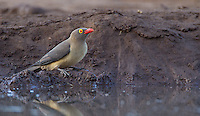 Red-billed oxpeckers are a common sight, usually riding on the backs of larger mammals.