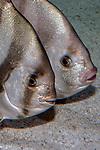 Atlantic spadefish swimming left 2 shot, vertical