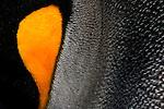 Close-up of a king penguin cheek, South Georgia Island