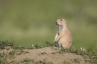 Black-tailed Prairie Dog (Cynomys ludovicianus) outside of its burrow in Theodore Roosevelt National Park, North Dakota, USA