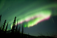 Aurora borealis over silhouetted spruce trees, Arctic,  Alaska.