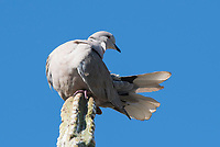 A Eurasian Collared Dove, Streptopelia decaocto, perches on a cactus in the Desert Botanical Garden, Phoenix, Arizona