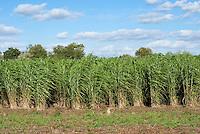 Miscanthus biomass crop growing for energy sources, biofuel, Miscanthus x giganteus