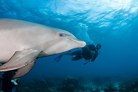 A diver (MR) meets a trained Atlantic Bottlenose Dolphin, Tursiops truncatus, on the Sea Aquarium House Reef off the island of Curacao in the Netherlands Antilles, Caribbean.