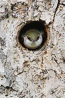 Violet-green Swallow,Tachycineta thalassina,adult in nesting cavity in pine tree, Rocky Mountain National Park, Colorado, USA