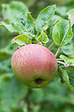 Apple 'Beauty of Kent', mid August. An English culinary apple dating back to the 18th century.