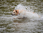 Golden labrador running water.