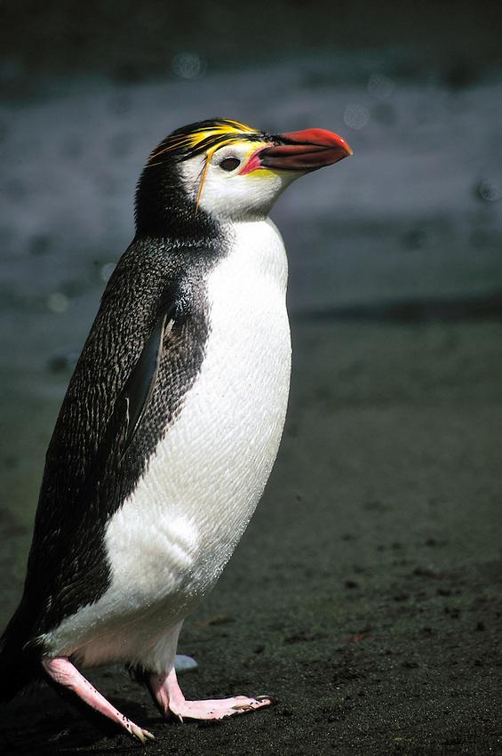 Macaroni Penguin on the black volcanic beach - Sandy Bay, Macquarie Island