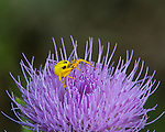 Yellow Crab Spider on a Thistle wildflower