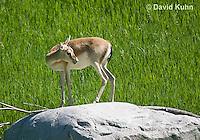 1222-1004  Goitered Gazelle (Black-tailed or Persian gazelle) in Grassland, Gazella subgutturosa  © David Kuhn/Dwight Kuhn Photography
