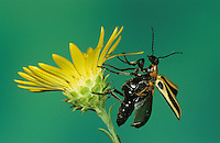 Blister Beetle, Meloidae, adult taking off from Golden Aster, Willacy County, Rio Grande Valley, Texas, USA
