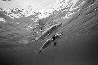black and white composition Spotted Seas, Atlantic spotted dolphin, Stenella frontalis, Bimini, Bahamas, Caribbean, Atlantic