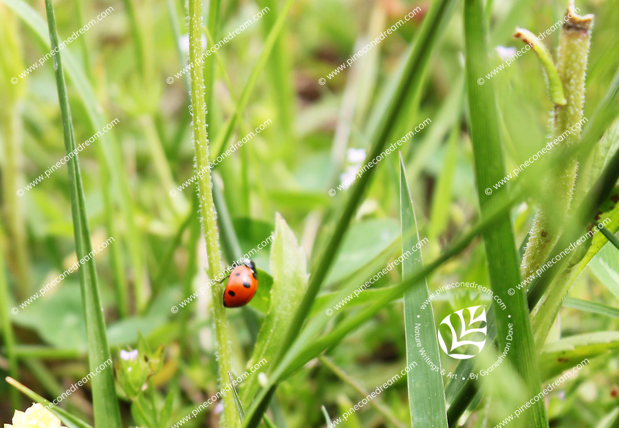 A lady bug climbs a stock of weed in a grassy foliage in a meadow - Free nature stock image.