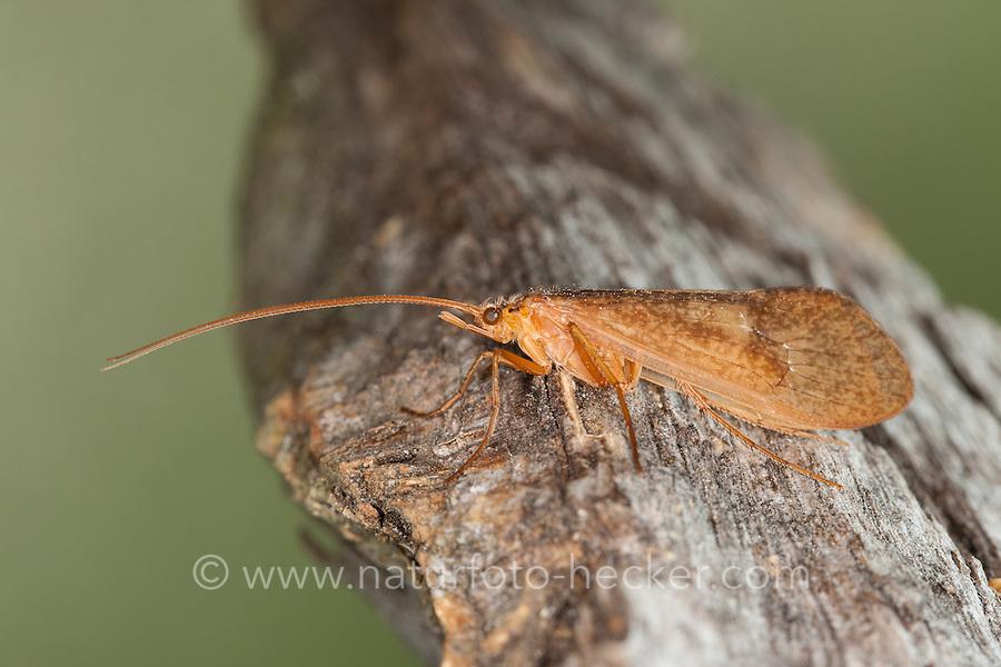 Köcherfliege, Weibchen, Limnephilidae, caddisfly