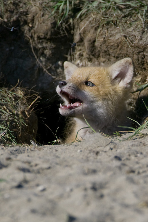 Fox pup carefully watching a fly