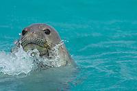 male Hawaiian monk seal, Neomonachus schauinslandi ( Critically Endangered Species ), spyhopping off East Island, looking for females, French Frigate Shoals, Papahanaumokuakea Marine National Monument, Northwest Hawaiian Islands, USA ( Central Pacific Ocean )