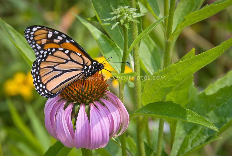 Monarch butterfly on echinacea purple coneflower