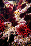 Santa Cruz Island, Channel Islands National Park and National Marine Sanctuary, California; Red Sea Urchins (Strongylocentrotus franciscanus), Purple Sea Urchins (Strongylocentrotus purpuratus), a Giant Sea Star (Pisaster giganteus) and an Ochre Sea Star (Pisaster ochraceus) cover the rocky reef , Copyright © Matthew Meier, matthewmeierphoto.com All Rights Reserved